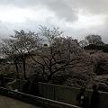 Photos: 桜だらけと大きなたまねぎ