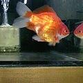 写真: 金魚。福ダルマ、二才です。