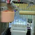 写真: シルバー文鳥。 綺麗な、オ...