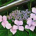 写真: 大平台駅の紫陽花