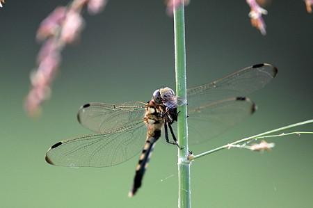 2010.07.24 和泉川 蜂を捕食するシオカラトンボ