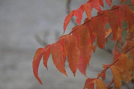 2010.11.14 和泉川 ヌルデ