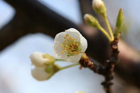 2011.03.29 和泉川 さくら 蕾