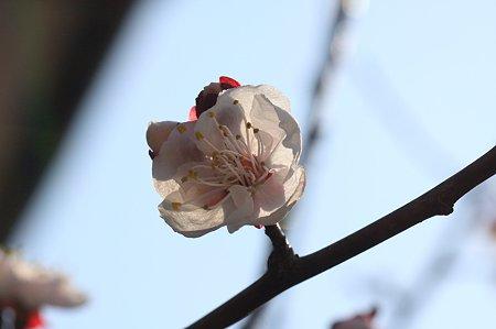 2011.03.30 和泉川 梅
