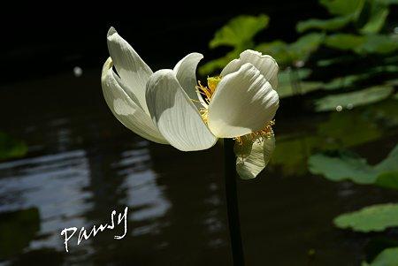 真っ白な蓮の花・・鶴岡八幡宮にて・・1