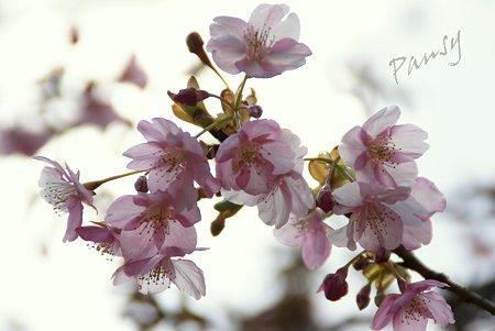 河津桜・・松田山 2