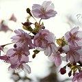 写真: 河津桜・・松田山 2