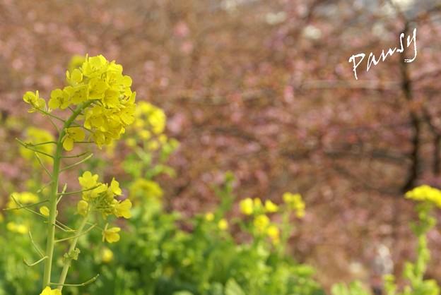 写真: 菜の花と・・河津桜と・・松田山 3