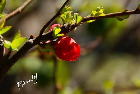 紅い木瓜・・