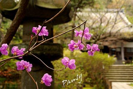 ミツバツツジ咲いて・・安国論寺・・12