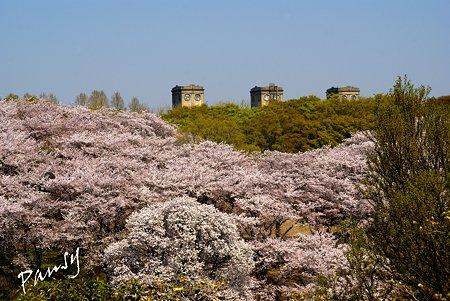 桜景色・・11