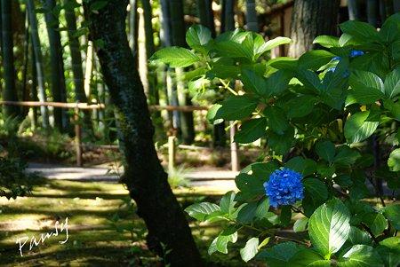 木蔭に残る紫陽花と・・ 夏の三渓園内苑・・3