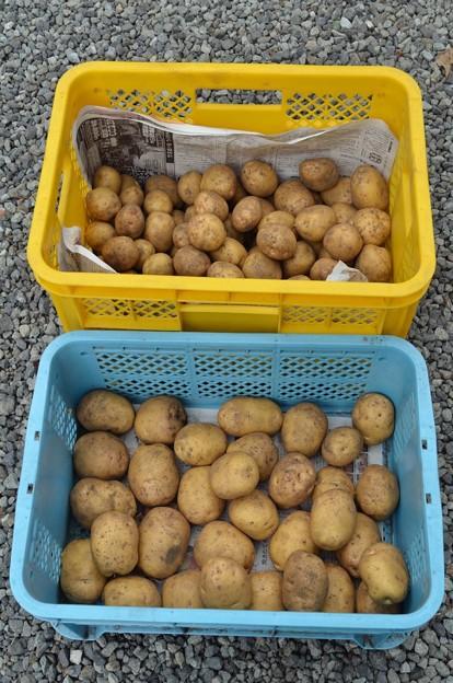 ジャガイモ収穫<キタアカリ>