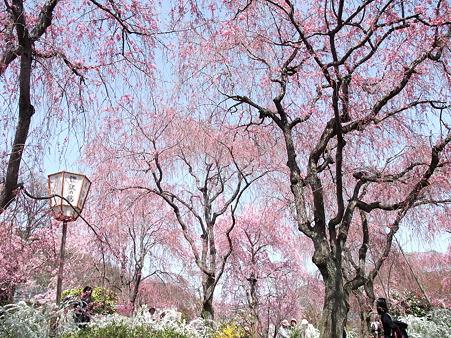 2011年4月10日 原谷苑その6