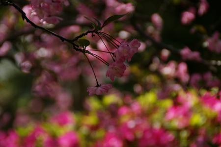 花海棠咲く!