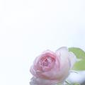 Photos: 儚い恋・・・