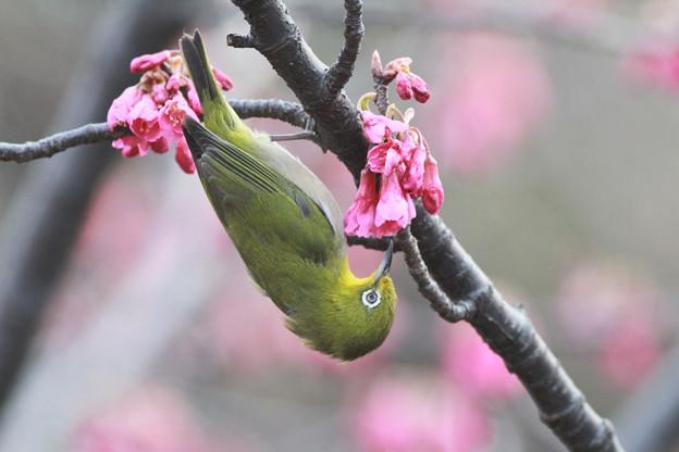 Photos: 110309-2寒緋桜とメジロ