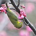 110309-2寒緋桜とメジロ