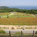 Photos: 110514-31ポピーの畑