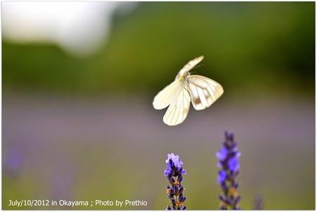 スジグロチョウの飛翔