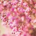 写真: 桃色の玉達