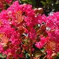 夏に咲く~百日紅の紅い花~