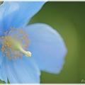 Photos: Blue Poppy_0006