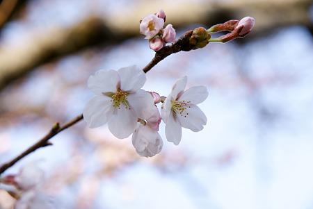 咲きゆく桜