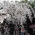 写真: 平野神社の魁桜