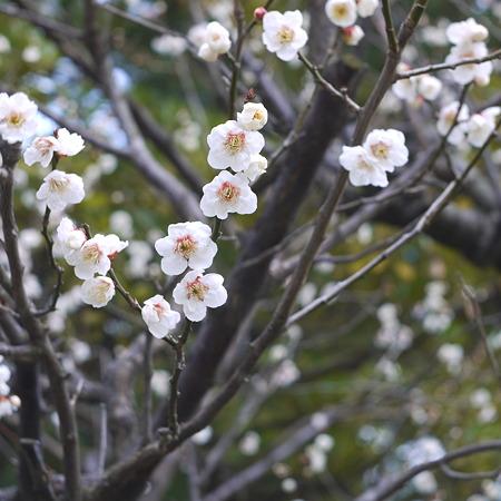 新潟白山さま 梅真っ盛り1