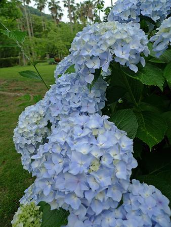 雨の宮地嶽神社(12)紫陽花