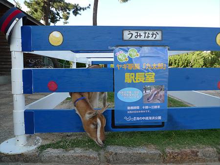 うみなか(1)ヤギ駅長「九太郎」