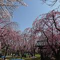 舞鶴公園の桜(15)