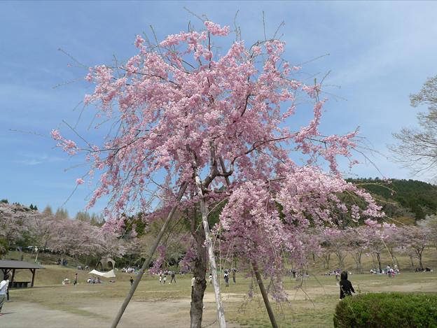 Photos: 志高湖の桜(7)