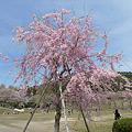 志高湖の桜(7)
