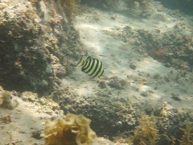 シマシマ幼魚