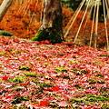 写真: 落ち葉と雪つり 兼六園
