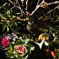 寄せ植え 松竹梅の盆栽と葉牡丹