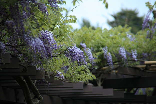 Photos: 巨樹の藤の花 小松城跡公園(芦城公園)で