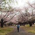 Photos: 桜にかこまれて さんぽされてる 殿方は?
