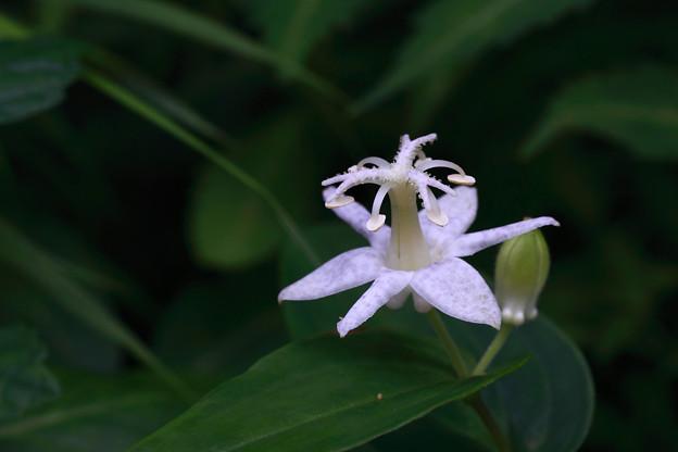 白花ヤマジノホトトギス