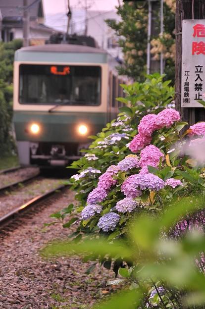 早朝の江ノ電500形 路線に咲く紫陽花・・20120619
