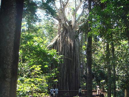 カーテンフィグツリー 4