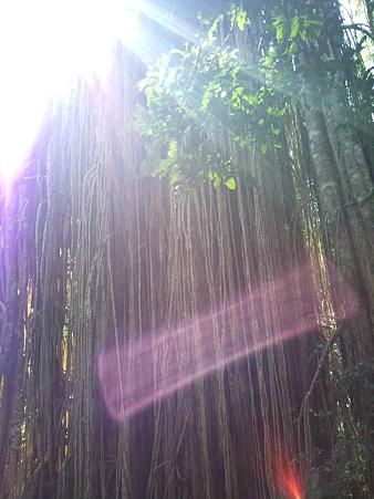 カーテンフィグツリー 2