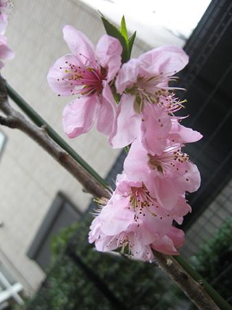 桃の花が咲きました