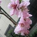 写真: 桃の花が咲きました