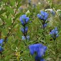 Photos: オヤマリンドウの花言葉