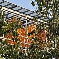 アンポ柿の準備2