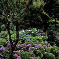 Photos: 山田池公園 あじさい園